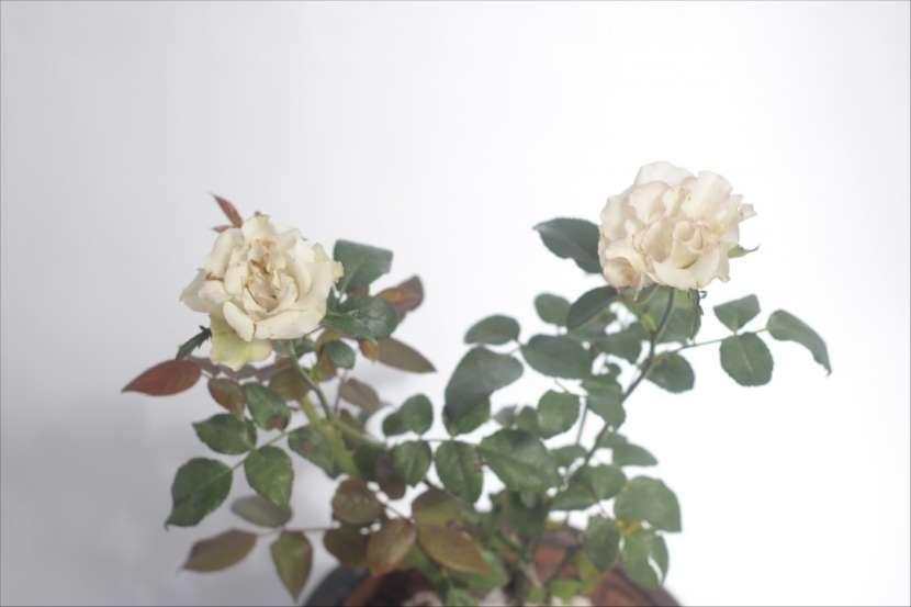 Combo rosa + pensamientos + suculentas, especial para mamá - 5