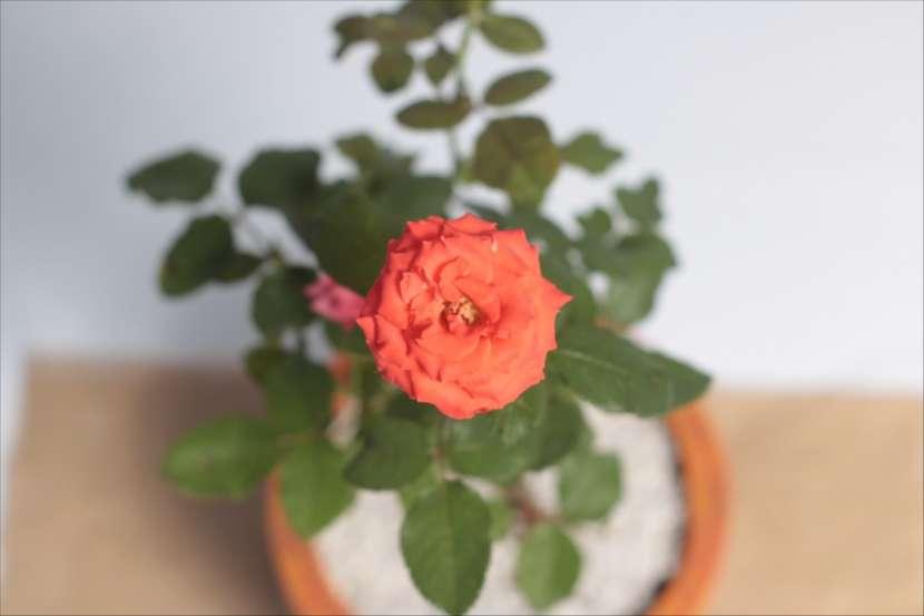Combo rosa + pensamientos + suculentas, especial para mamá - 7