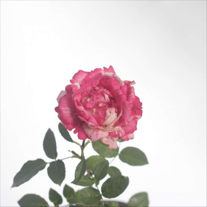 Combo rosa + pensamientos + suculentas, especial para mamá - 6