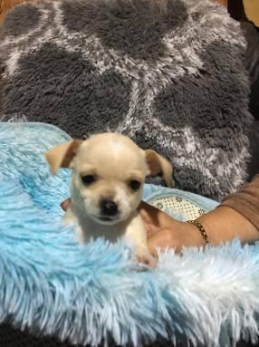 Chihuahua hembra