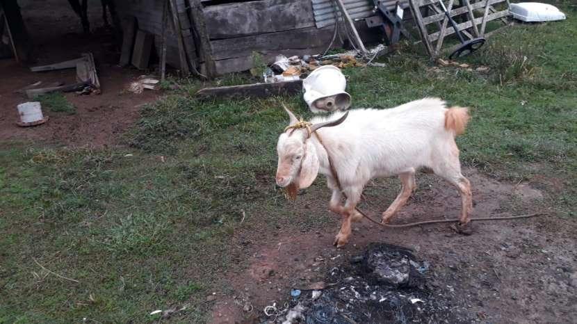 Cabras - 2