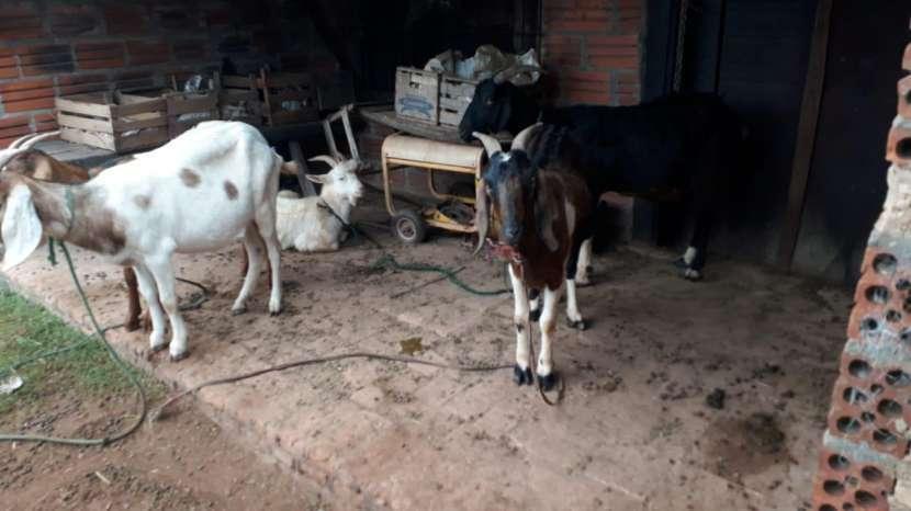 Cabras - 3