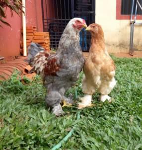 Pareja joven de gallinas raza Brahma