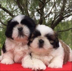 Cachorro Shih Tzu miniatura