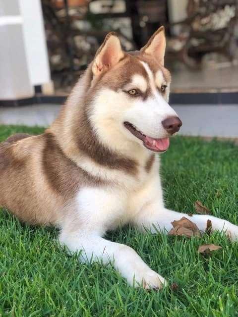 Cachorra Husky Siberiano - 8