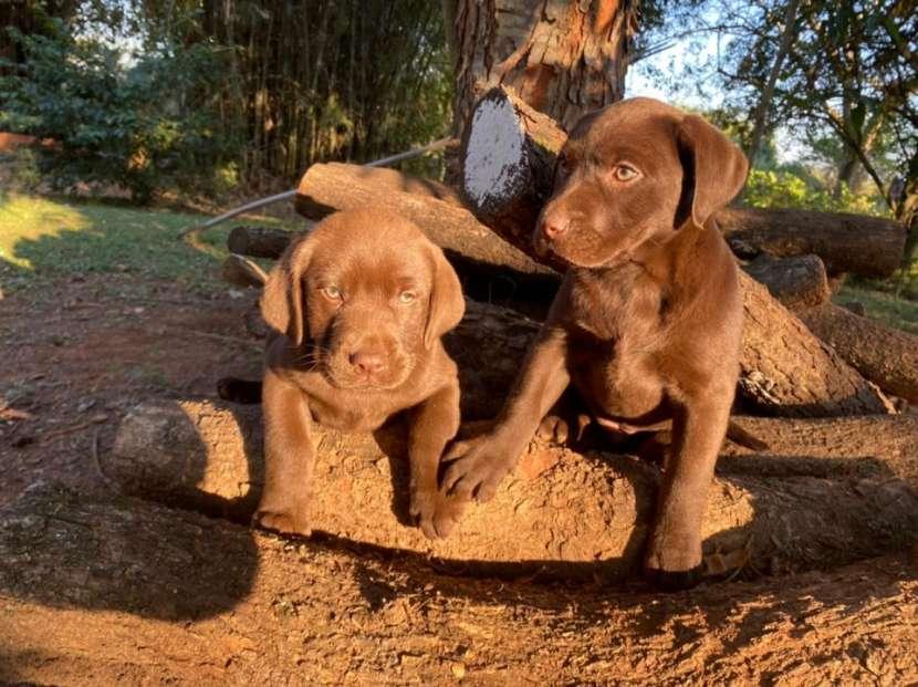 Labrador chocolate - 2