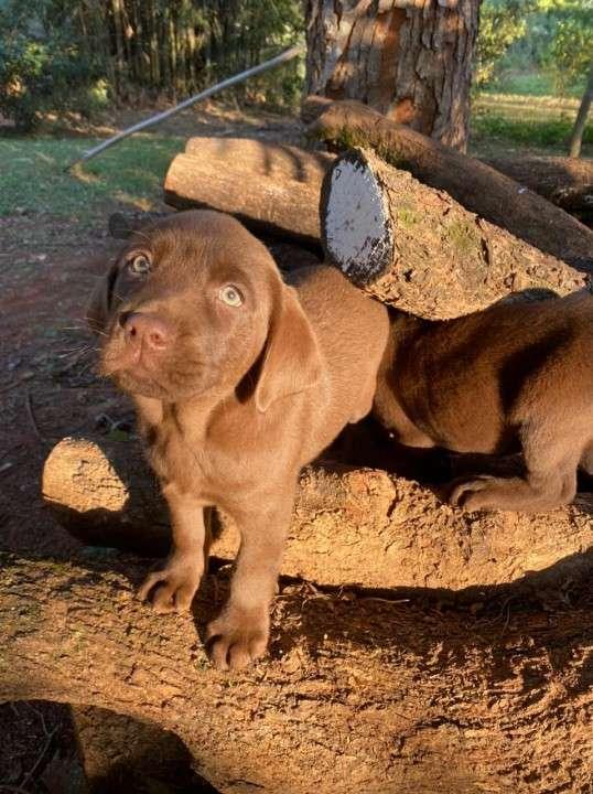 Labrador chocolate - 0