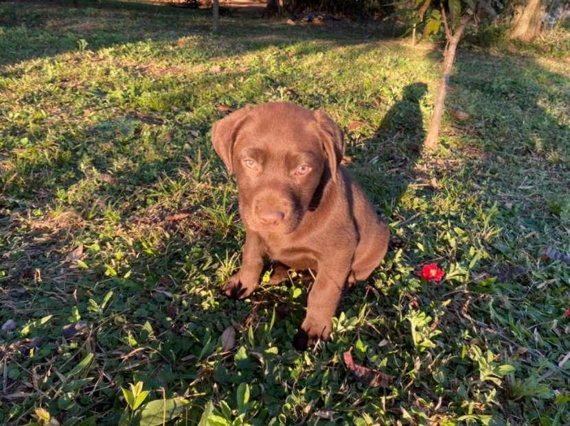 Labrador chocolate - 1