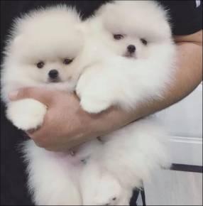 Cachorros Pomerania Lulú