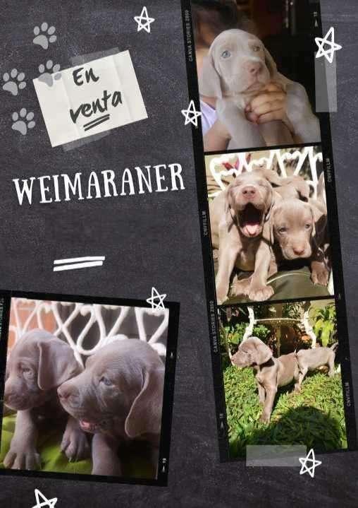 Cachorros Weimaraner desparasitados y vacunados - 0