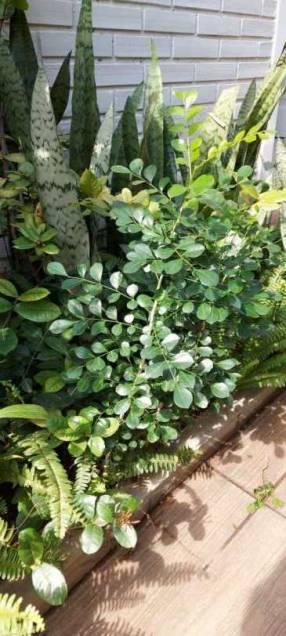 Plantas Mirtos