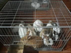 Conejos mestizos en fase de crecimiento