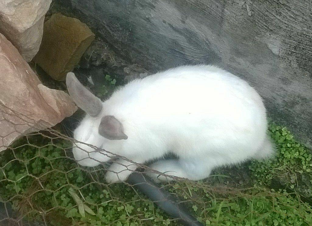 Conejos blancos bien cuidados para mascota