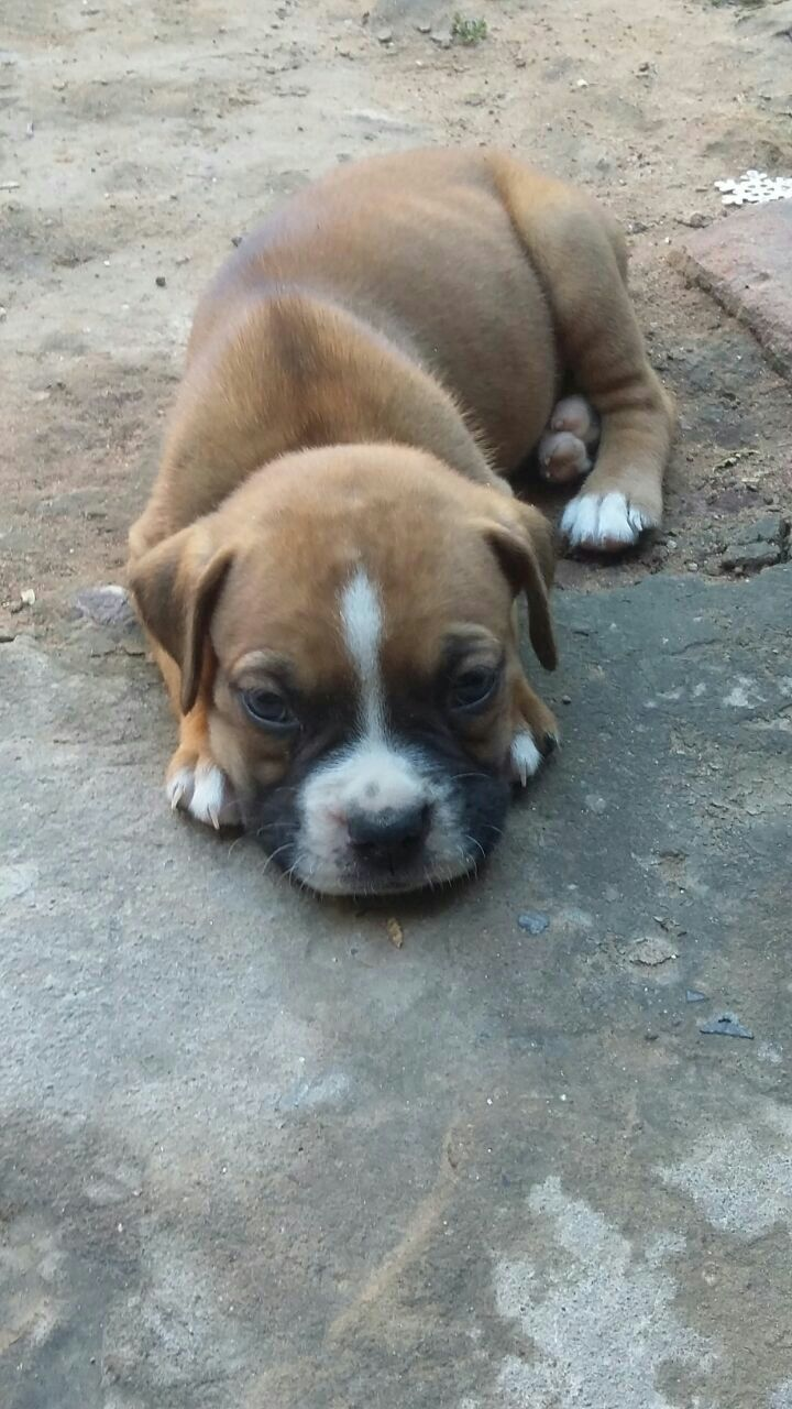 Cachorro Boxer macho