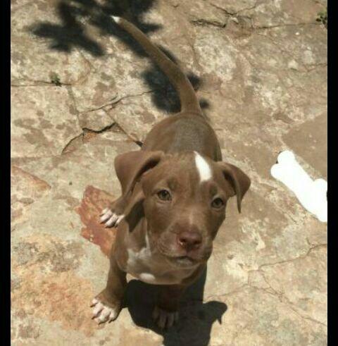 Cachorro pitbull hembra